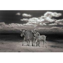Fototapeta zebry 152