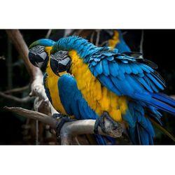 Fototapeta papugi 485