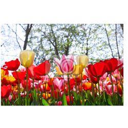Fototapeta Kolorowe tulipany w parku.