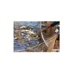 Foto naklejka samoprzylepna 100 x 100 cm - Jesienne zbiory karpie od rybniku.