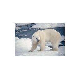 Foto naklejka samoprzylepna 100 x 100 cm - Duży samiec niedźwiedzia polarnego na brzegu zatoki Hudsona.