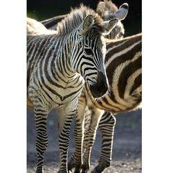 fototapeta 04X zebra 4293