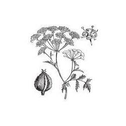 Foto naklejka samoprzylepna 100 x 100 cm - Piołun i trucizna cykuty lub szczwół plamisty, rocznik wina