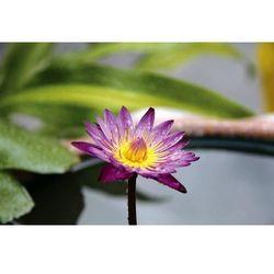 fototapeta lilia wodna 2806