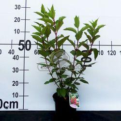 Hortensja bukietowa 'Pinky Winky' (Hydrangea paniculata 'Pinky Winky')