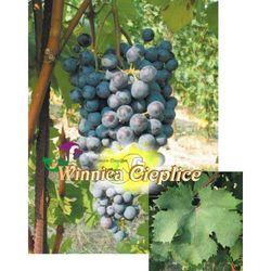Dolcetto sadzonki winorośli 100 promocja!