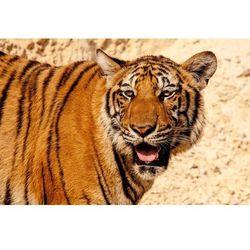 Fototapeta tygrys 432