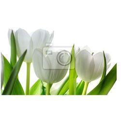 Fototapeta kwiaty białe tulipany na białym