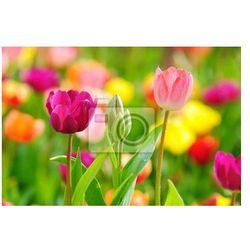 Fototapeta Piękne wiosenne tulipany