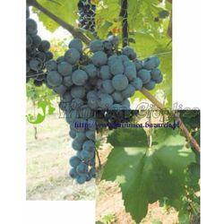 Cabernet Franc sadzonka winorośli 100 rabat 10%