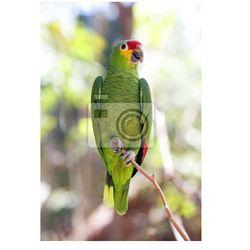 Fototapeta Zielona papuga