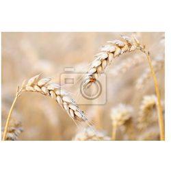 Fototapeta biedronka na pszenicy