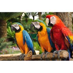papugi ara 2032 fototapeta